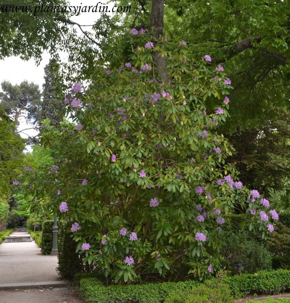 Rhododendron ponticum-Hojaranzo, nativo de este de Europa y oeste de Asia primavera.