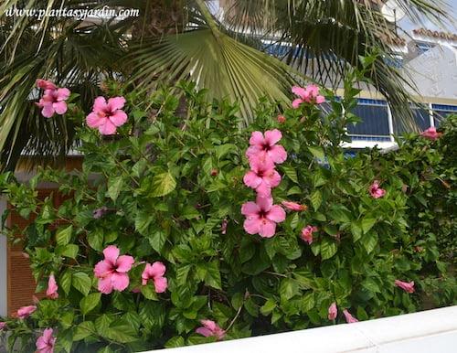 Rosa china, de color rosa, en verano. copia