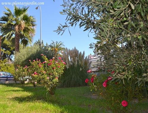 Rosas, Cortadera y Olivo con frutos.
