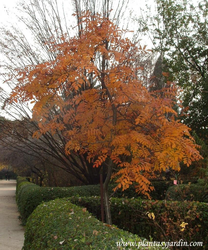 Sorbus aucuparia-Serbal del cazador, en otoño.
