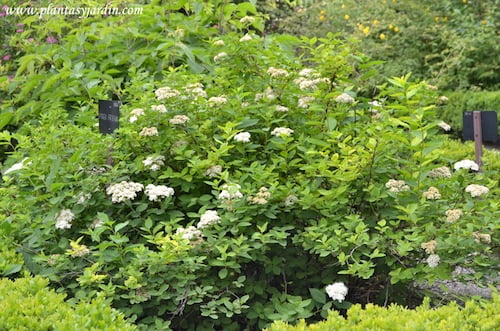 Spiraea fritschiana, nativa de China; florecida en primavera