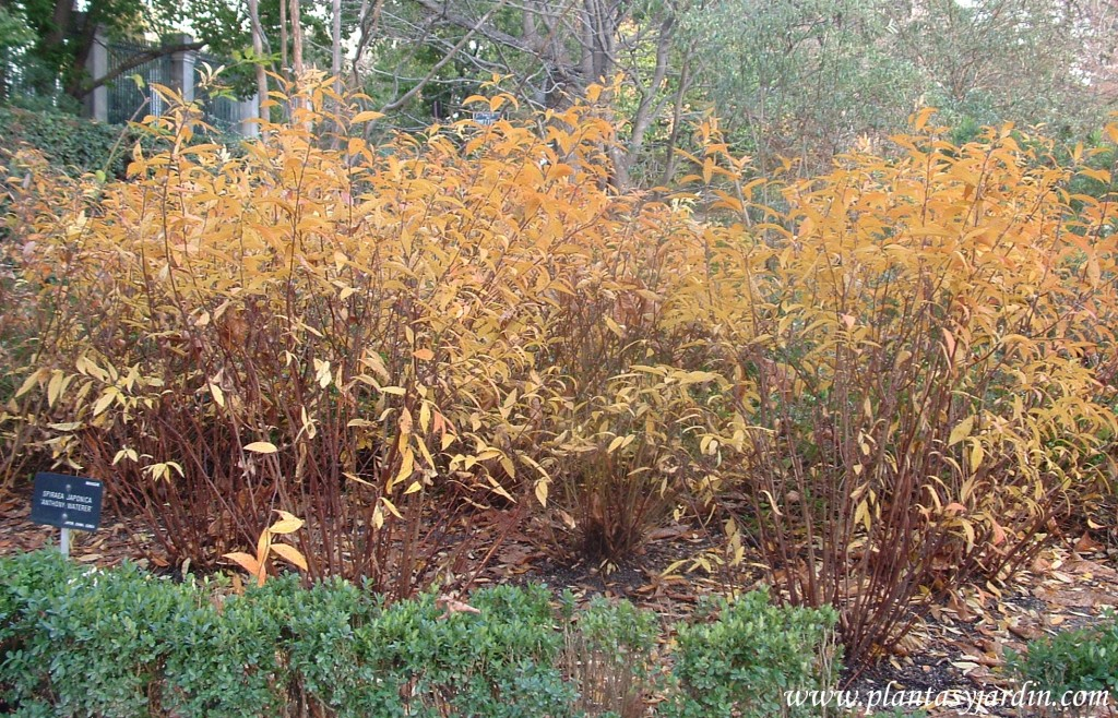"Spiraea japonica ""Anthony Waterer"" follaje otoñal."