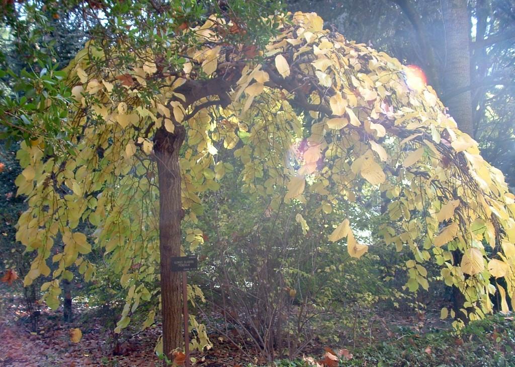 """Ulmus glabra """"Pendula"""" en otoño."""