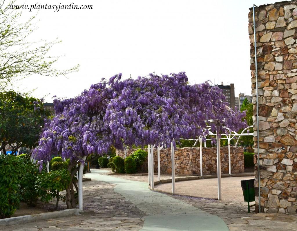 Wisteria sinensis-Glicina, floración a fines del invierno.