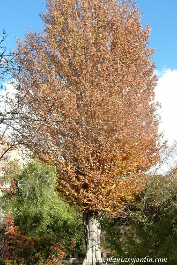 Zelkova carpinifolia, en otoño