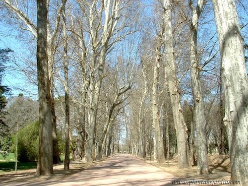 camino secundario bordeado de Plàtanus