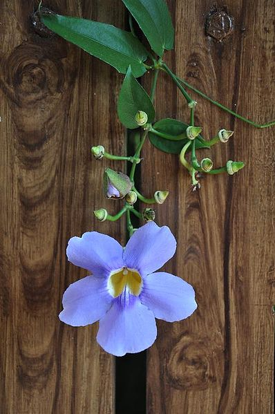 Thunbergia grandiflora. Foto: Wikipedia