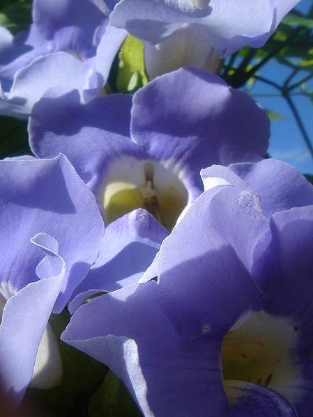 Thunbergia grandiflora. Foto: Wikipedia.