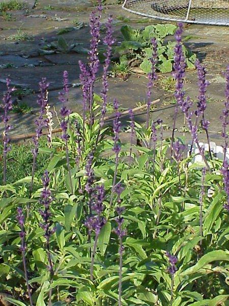 Salvia farinacea nativa de México. Foto: Wikipedia.