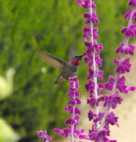 Salvia leucantha, nativa de México. Foto:Wikipedia.
