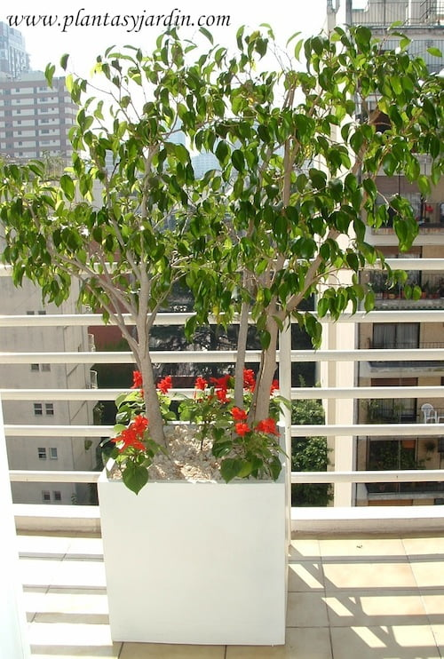 Ficus benjamina con Salvia splendens.