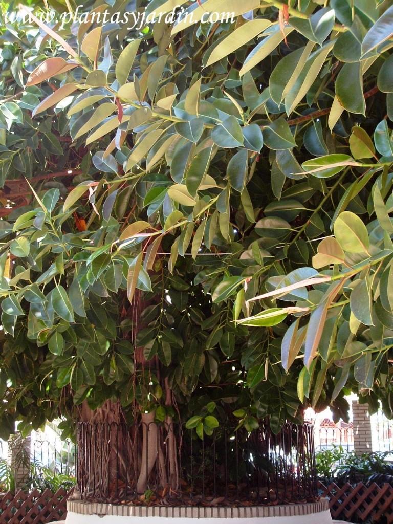 Ficus elastica-Ficus del caucho