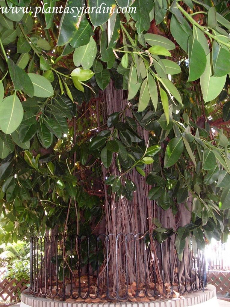 Ficus elastica, raíces aéras.