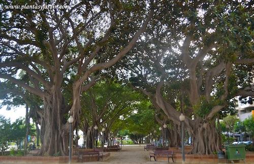 alineación de Ficus elastica-Gomero, en paseo público.