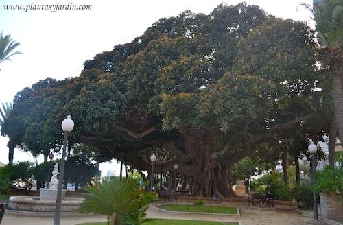 Ficus elastica centenario en Alicante.