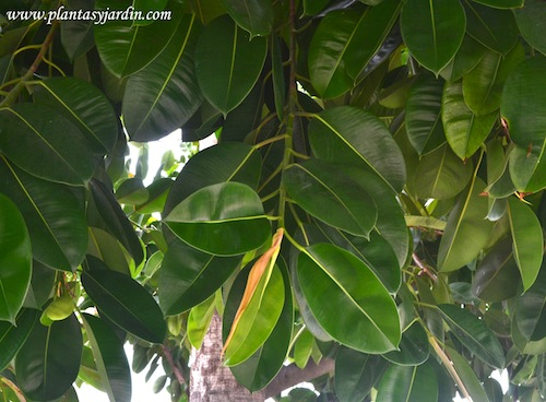 Ficus elastica detalle de grandes y coriáceas hojas.