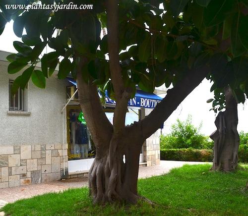 Ficus elastica, detalle de tronco y raíces.