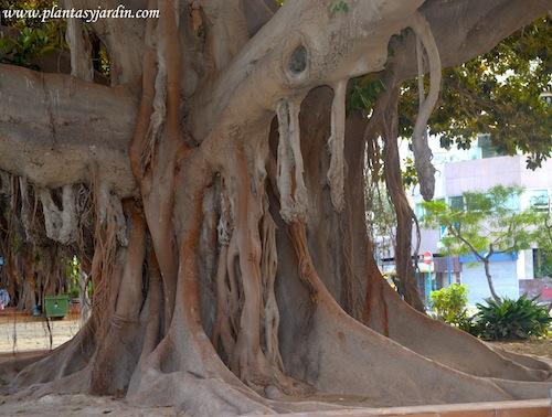 Ficus elastica, raíces aéreas añosas, unificándose al tallo.