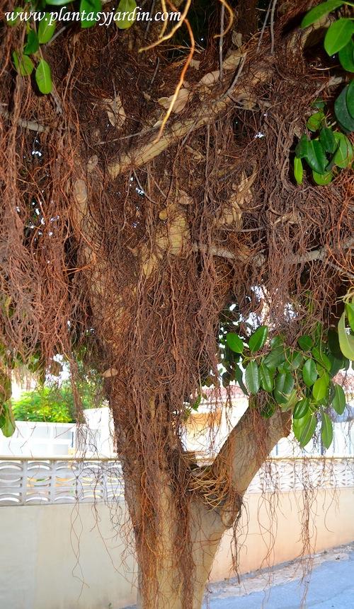 Ficus elastica, raíces aéreas.