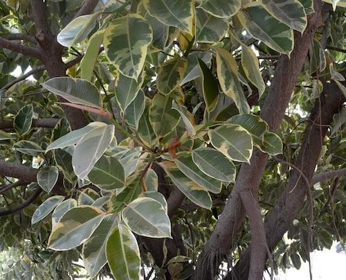"Ficus elastica ""Variegata"" detalle follaje."