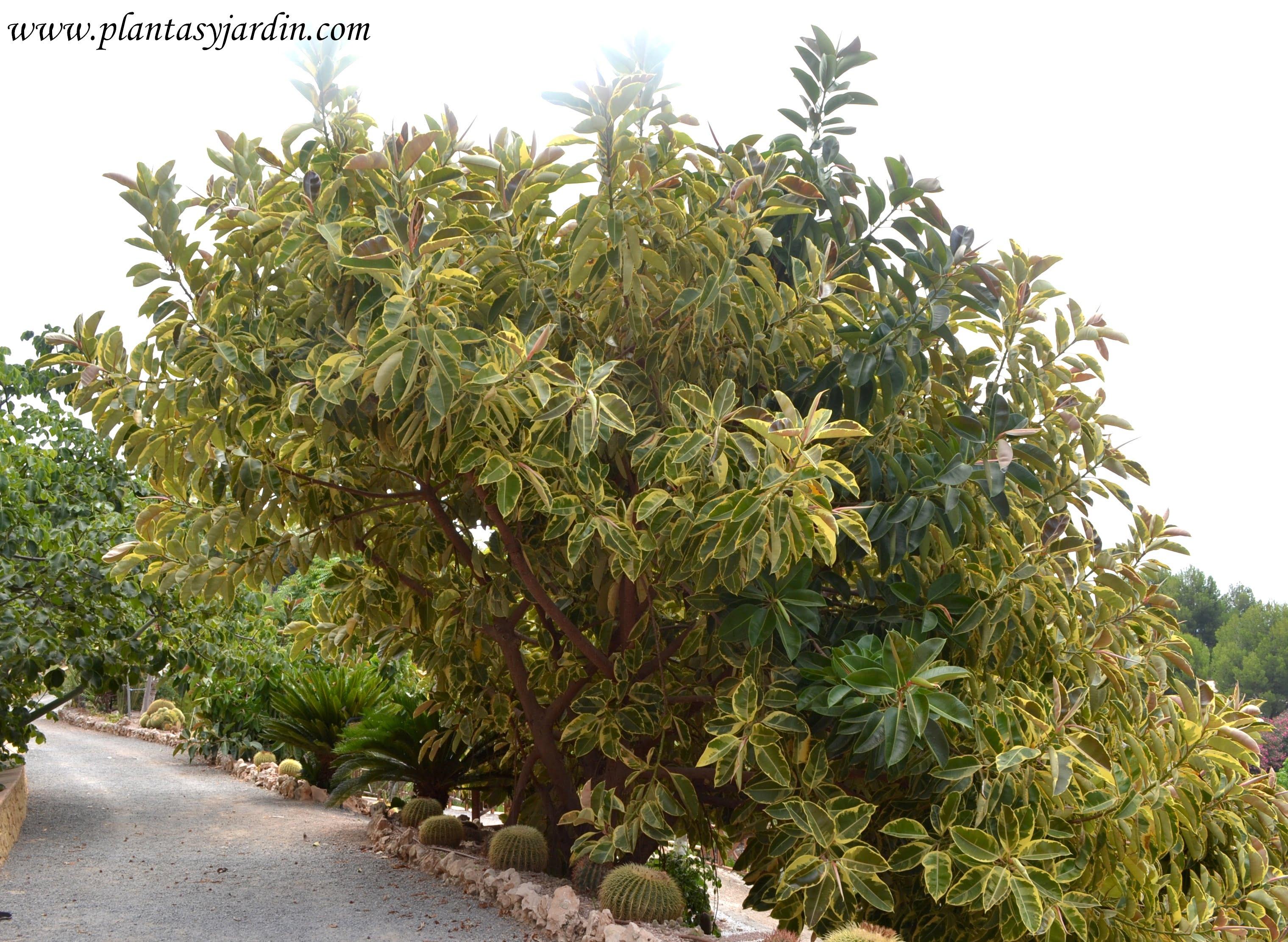 """Ficus elastica """"Variegata""""."""