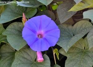 Ipomoea purpurea, detalle de flor.