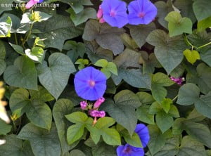Ipomoea purpurea en verano.