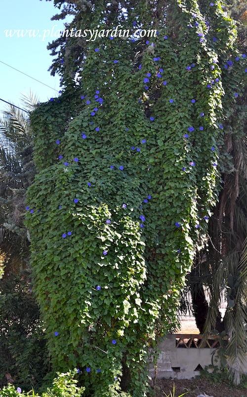 Ipomoea purpurea enredada en una palmera.