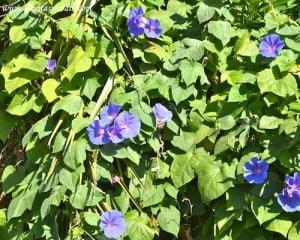 Ipomoea purpurea flores y follaje.