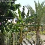 Musa sp. en un jardin privado.