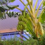 Musa sp. grande y larga espata de porte pendular, con frutos.