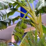 Musa sp. pueden contener hasta 200 bananas.