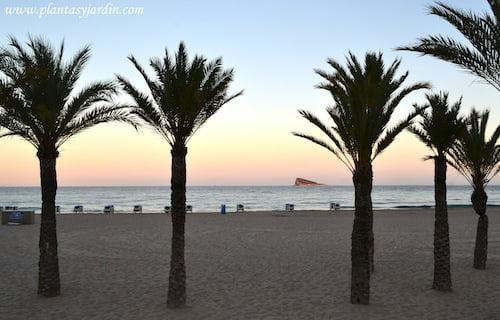 Phoenix dactylifera. Playa del Poniente-Benidorm-Alicante al atardecer.