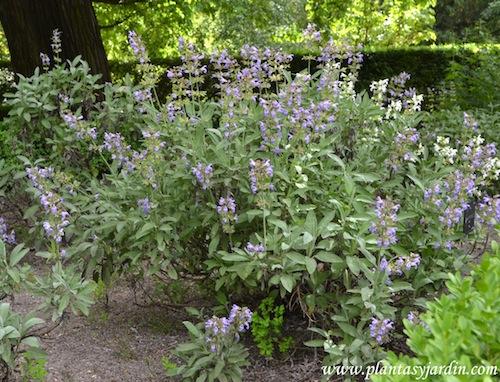 Salvia officinalis floración.