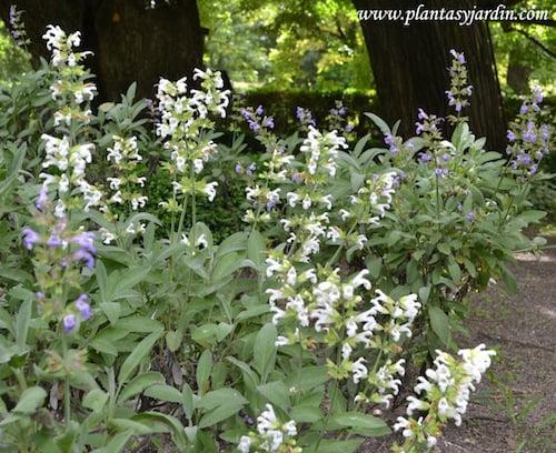 Salvia officinalis, flores blancas y flores lilas.