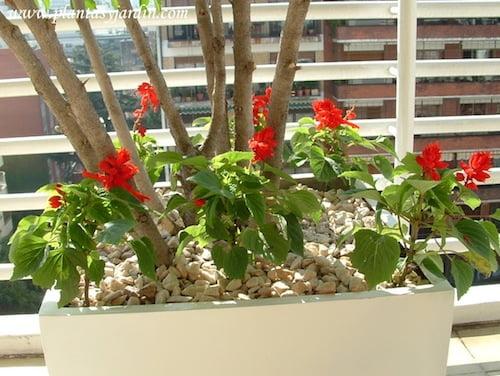 Salvia splendens.
