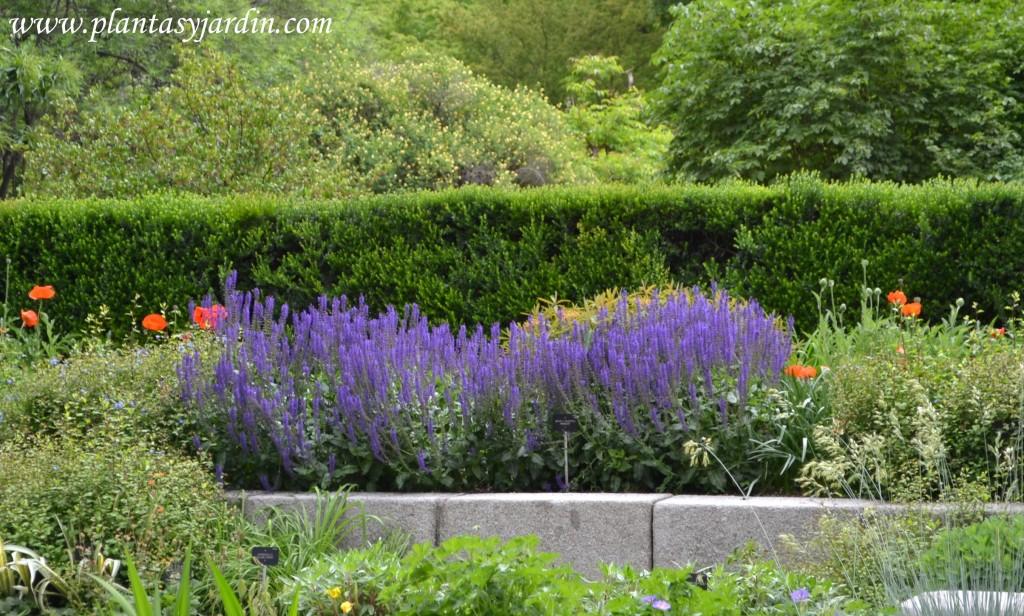 """Salvia x sylvestris """"Mainacht"""" en macizo floral con Papaver oriental"""