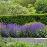"""Salvia x sylvestris """"Mainacht"""" en macizo floral con Papaver oriental."""