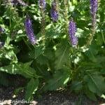 "Salvia x sylvestris ""Mainacht"" detalle follaje."