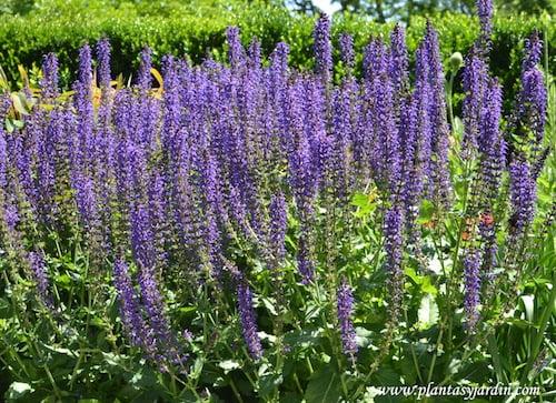 "Salvia x sylvestris ""Mainacht"" florecida en primavera."