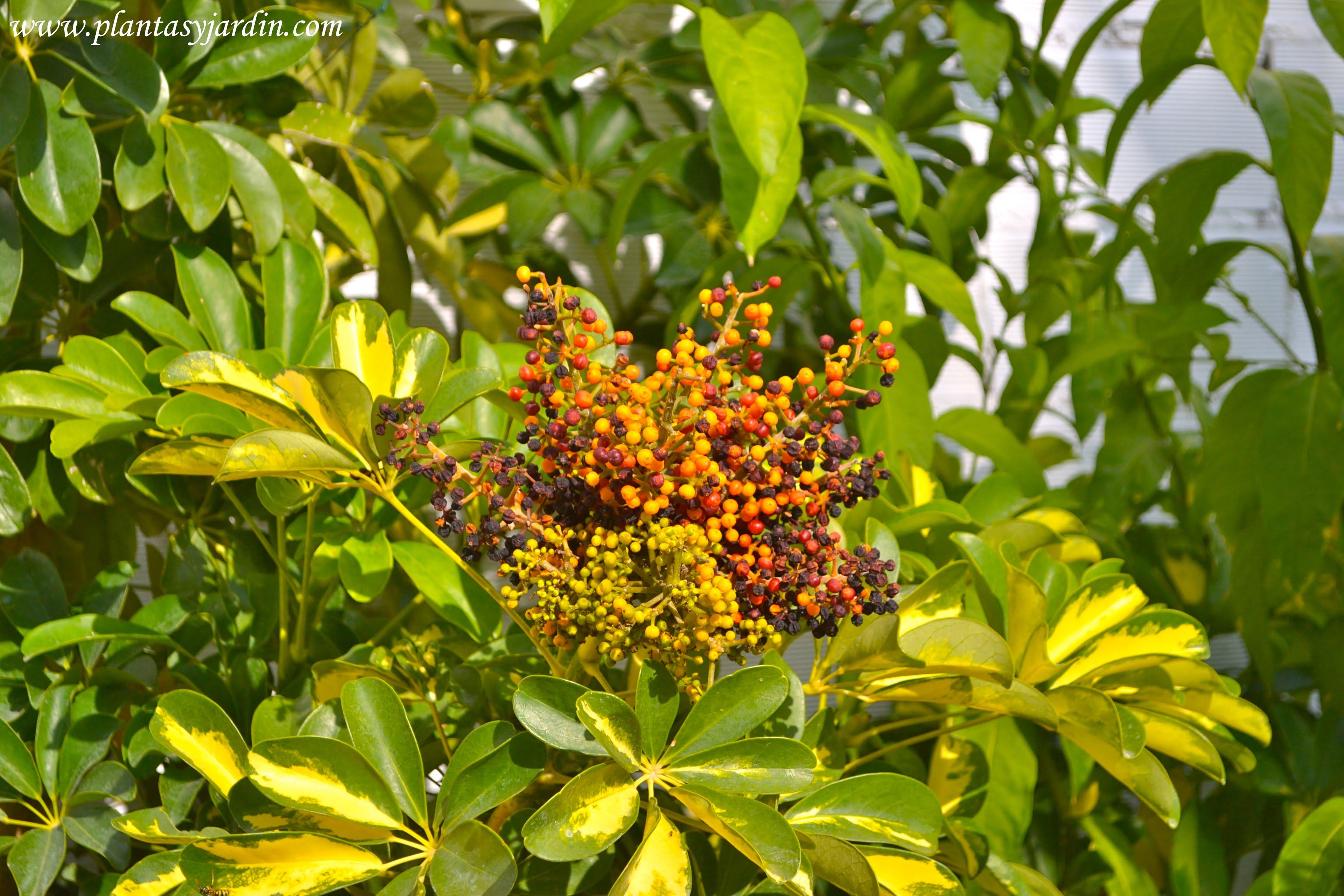 Schefflera-Aralia, frutos en verano.