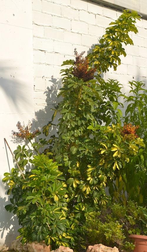 Schefflera cultivada en jardín de clima cálido.