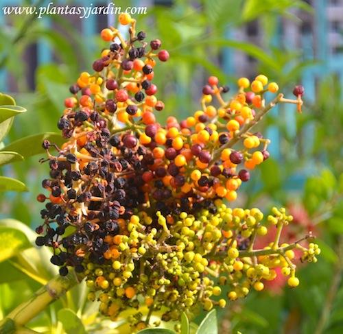 Schefflera, frutos naranjas y púrpuras en verano.