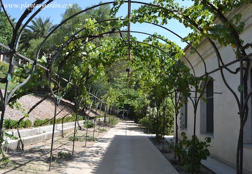 camino bajo una pérgola cubierta con diferentes tipos de uvas.