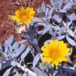 Gazania rigens var. leucolaena. Foto: plantzafrica.com