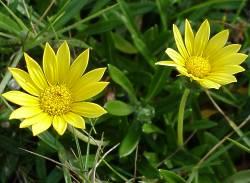 Gazania rigens var. uniflora. Foto: plantzafrica.com