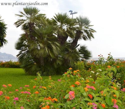 jardines junto al mar, Chamaerops y Lantana.