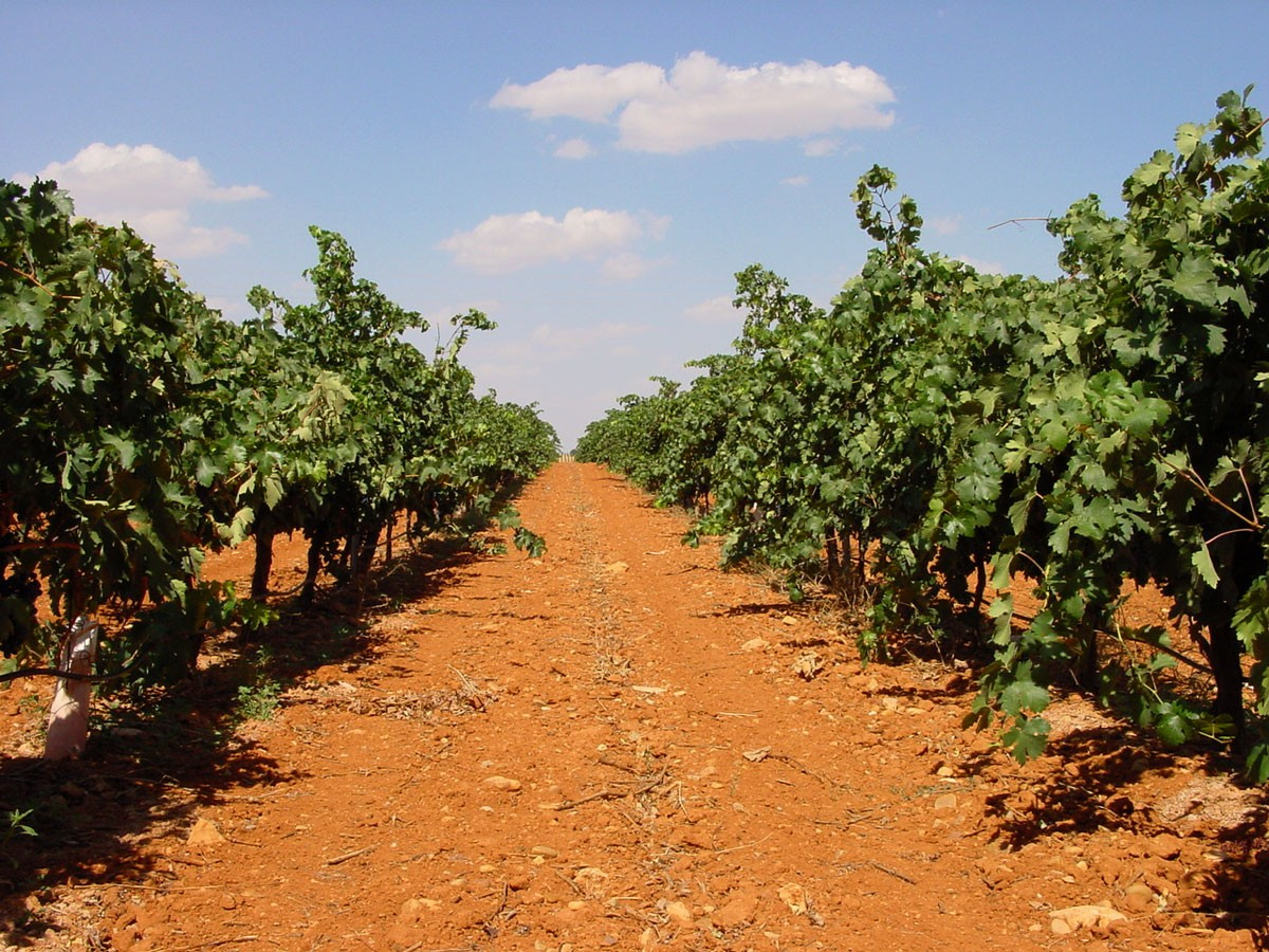 sustrato orgánico en un viñedo. Foto: www.phitoma.com
