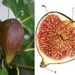 Ficus carica, fruto carnoso compuesto. Foto: Wikipedia.