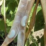 Phaseolus coccineus, legumbre. Foto: Wikipedia.